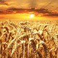 【感想】『サピエンス全史』/ユヴァル・ノア・ハラリ:人類は小麦に家畜化された!?