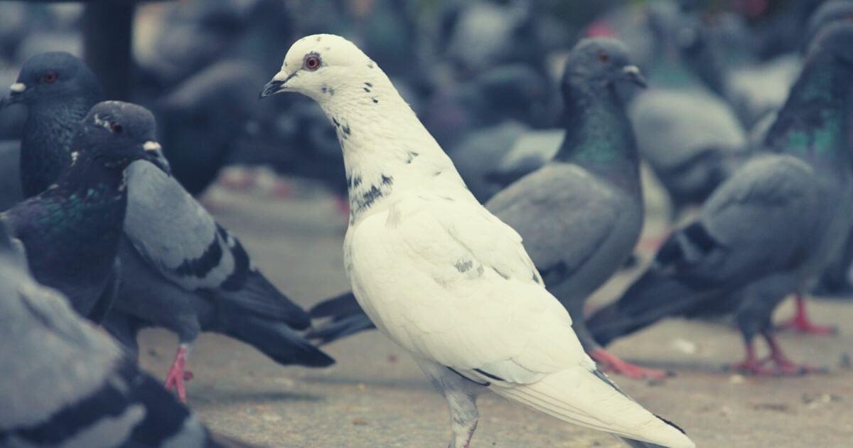 黒ハトのなかに白いハト