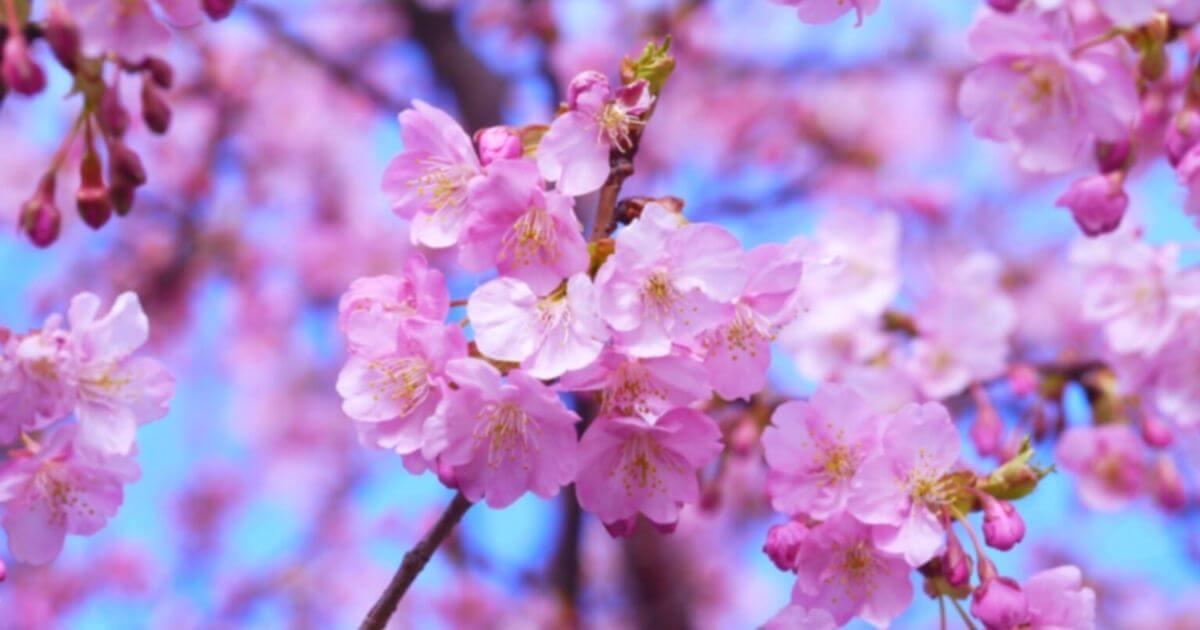桜の花を接写
