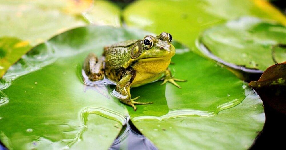 葉っぱの上にいる蛙